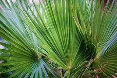 Three palm leaf closeup. Stock Image