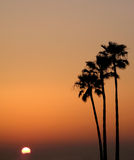 Three Palm Sunset. Three palm trees and a setting sun against a glowing orange sky Royalty Free Stock Images