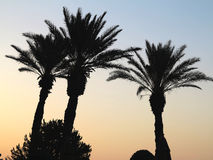 Three palm three on background of sunset Royalty Free Stock Photography