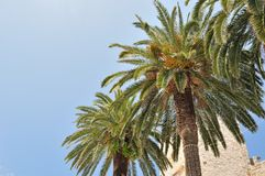 Three palm tree with blue sky Royalty Free Stock Image