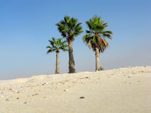 Three palm trees. On the edge of a beach in Marina, Egypt Royalty Free Stock Images