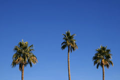 Three palm trees Royalty Free Stock Images