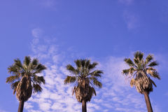 Three palm trees Stock Photo