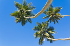 Three palm trees against the blue sky Royalty Free Stock Images