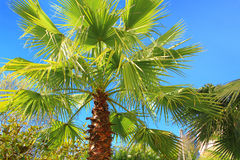Three palm trees against a blue sky Royalty Free Stock Image