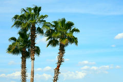 Three palm trees against blue sky Royalty Free Stock Images