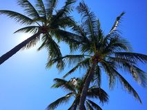 Three palm trees against a blue sky Stock Photography