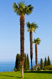 Three palm trees Stock Image