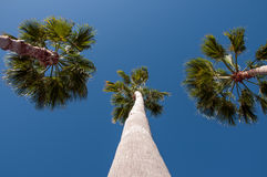 Three Palm Trees and Blue Sky Stock Photos