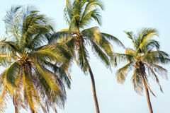 Three Palm Trees Stock Photos