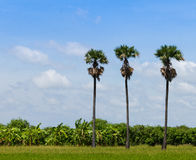 Three palm trees in the field Royalty Free Stock Photos