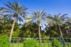 Palm trees in the garden. Three palm trees in the garden royalty free stock photo