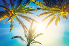 Three palm trees Stock Images