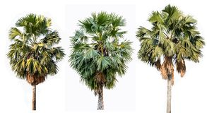 Three palm trees isolated on white background stock images