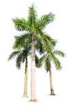 Three palm trees isolated Stock Images