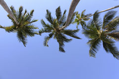 Three Palm Trees Royalty Free Stock Photos