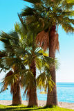 Three palm trees by the sea Stock Photography
