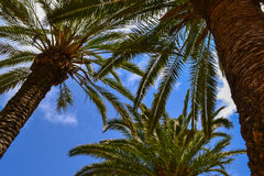 Three palm trees Stock Photography