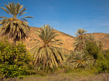 Three palm trees stand in the meadow. On a background of mountains Royalty Free Stock Images