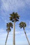 Three palm trees  under blue sky Royalty Free Stock Image