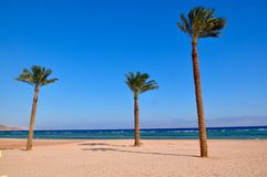 Three palms. Palms at  the Red Sea in Taba, Egypt Stock Images