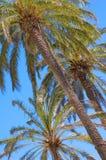 Three palms Stock Photos