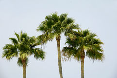 Three palms Royalty Free Stock Image