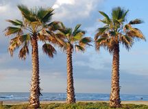 Three palms. Growing at the sea shore in Netania resort, Israel stock photos