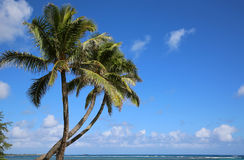 Three palms on Aukai Beach Stock Photography
