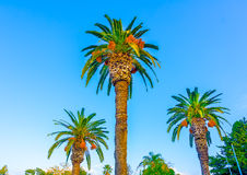 Three Palms Royalty Free Stock Photography