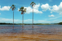 Three palms. In the lagoon of Canaima. Venezuela, South America Royalty Free Stock Photos
