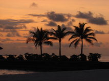 Three palms at sunset. Palm trees silhouetted against the orange clouds Royalty Free Stock Images