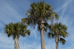 Three palms under the blue sky Royalty Free Stock Images
