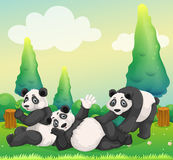Three pandas playing in the park Stock Image