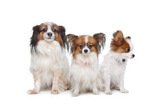 Three Papillon dogs. In front of a white background stock photos