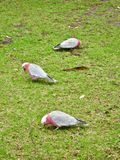 Three Parakeets on Grass at Wilsons Promontory National Park. stock photo