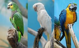 Three parrots Royalty Free Stock Photography
