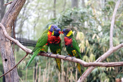Three parrots. Three bright large tropical parrots sit on a branch and communicate royalty free stock photos