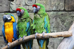 Three parrots ara macaws in jungle Royalty Free Stock Photo