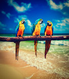 Three parrots Blue-and-Yellow Macaw Ara ararauna Stock Photo