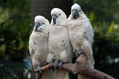 Tree parrots. Three parrots closely sitting together Stock Photo