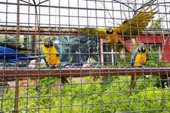 Three parrots macaw sit on a pole and fly and look at the foreground. Three parrots macaw sit on a pole and fly and attentively look at the foreground Stock Photo