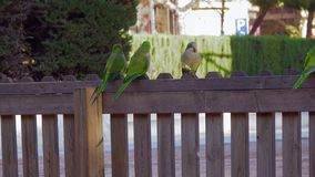 Three parrots Monk Parakeets Myiopsitta monachus eating bread stock footage