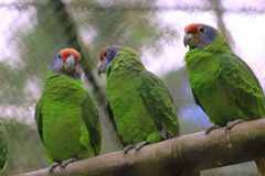 Three parrots on top of trunk. royalty free stock photography