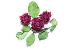 Three past blossom roses isolated. Three past blossom roses with some dead green leafs isolated Royalty Free Stock Photos