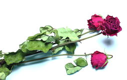 Three Past blossom roses isolated. Three stems of dead red roses on the white background Royalty Free Stock Photo