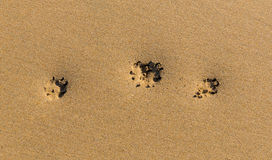 Three paw prints in sand on a beach Royalty Free Stock Photos