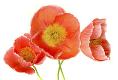 Three Peach Poppies. Three dark peach poppies on white background royalty free stock photos