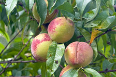 Three peaches ripening in a tree Stock Image