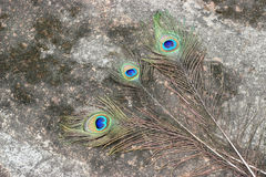 Three Peacock feather eye. Three Peacock tail feather on rustic abstract dirty background Stock Image